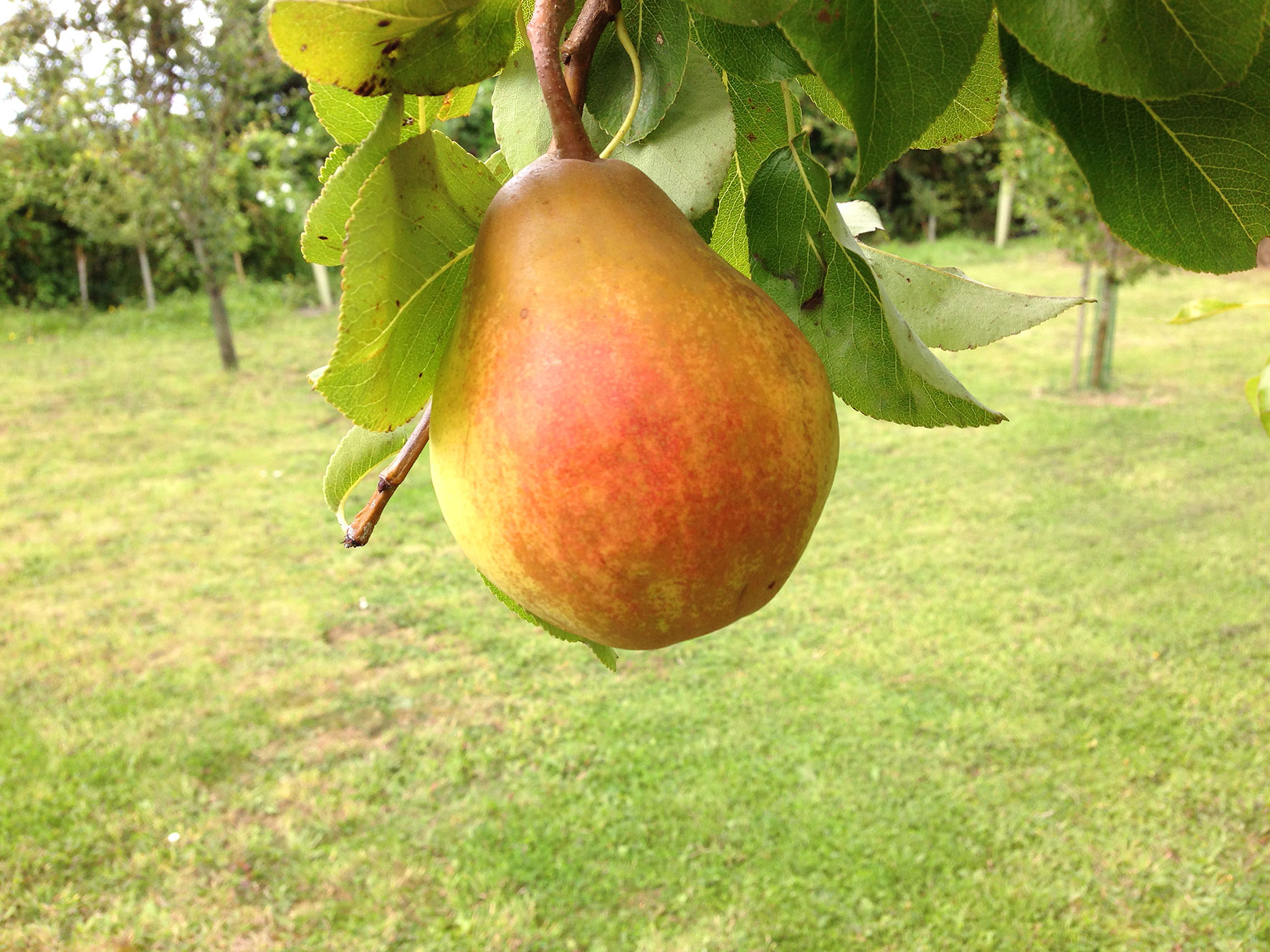 A pear with fruit on top of a grass covered field. A pear with fruit on top of a field.